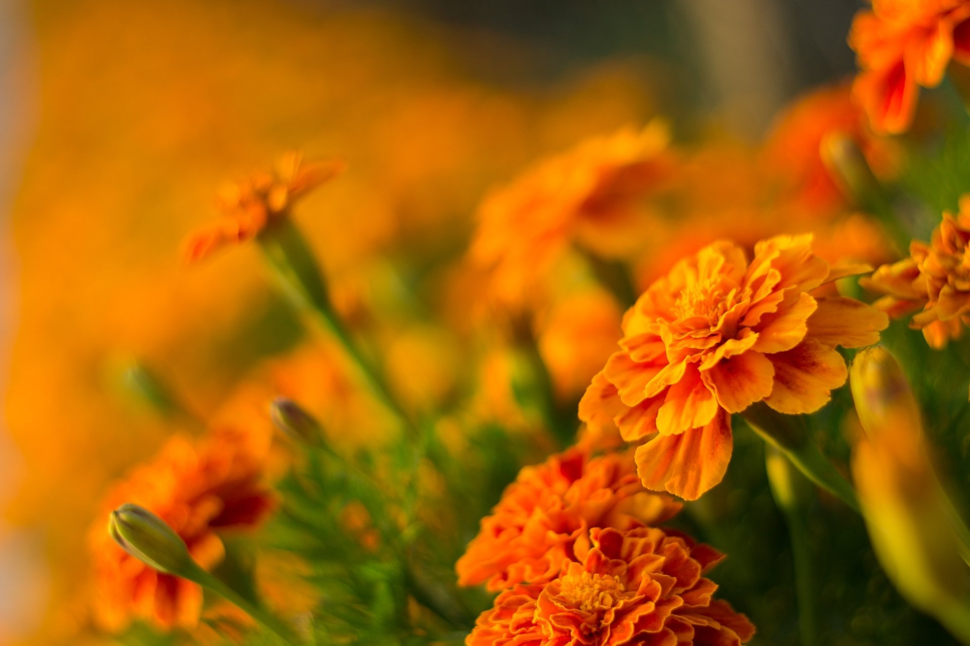 Marigold Hd Wallpaper Background Image 2136x1424 Id