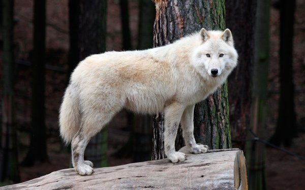Animal Wolf Wildlife predator White Wolf HD Wallpaper   Background Image