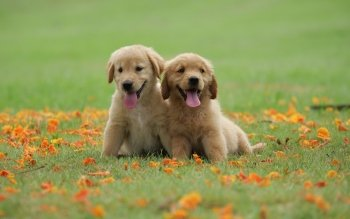 64 4k Ultra Hd Golden Retriever Wallpapers Background Images Wallpaper Abyss