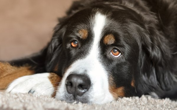 Animal Bernese Mountain Dog Dogs Dog Pet HD Wallpaper | Background Image