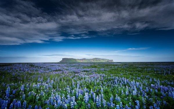 Earth Lupine Flower Field Sky Blue Flower HD Wallpaper | Background Image