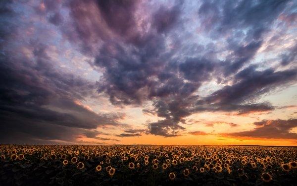 Earth Sunflower Flowers Nature Flower Yellow Flower Sky Cloud Sunrise Field HD Wallpaper | Background Image