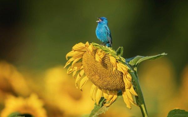 Animales Bluebird Aves Pájaros cantores Wildlife Ave Girasol Flor Yellow Flower Fondo de pantalla HD | Fondo de Escritorio