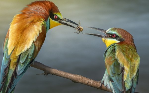 Animal Bee-eater Birds Bee-Eaters Bird Colorful Bee HD Wallpaper | Background Image