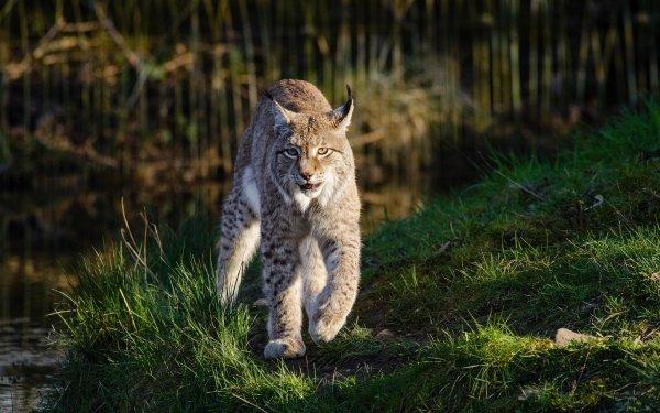 Animal Lynx Cats Wildlife predator Big Cat HD Wallpaper   Background Image